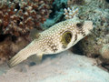 Whitespotted puffer Royalty Free Stock Photo