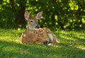 Whitetail baby Royalty Free Stock Images