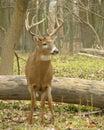 Whitetail Buck 9 Stock Photography