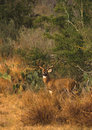 Whitetail Buck in Brush Country Royalty Free Stock Photography
