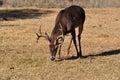 Whitetail buck deer feeding in grassy meadow Royalty Free Stock Photo