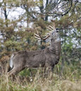 Whitetail buck Royalty Free Stock Photo