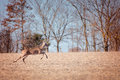 Whitetail buck deer running through field Royalty Free Stock Photo