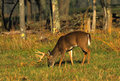 Whitetail Buck Feeding Stock Photo