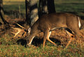 Whitetail Buck Feeding Royalty Free Stock Photo