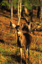 Whitetail Buck in Forest Stock Images