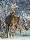Whitetail Buck and Frost Stock Photo