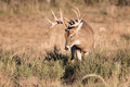 Whitetail buck on the hunt for a doe Royalty Free Stock Photo