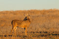 Whitetail buck looking back a over is shoulder in a field Royalty Free Stock Image