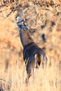 Whitetail buck making his scent mark on branch marking a tree Stock Images