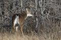 Whitetail Buck making a rub Royalty Free Stock Photo