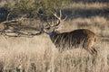 Whitetail buck making rub on tree Royalty Free Stock Photo