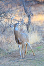 Whitetail buck marking scent on tree branch his with tarsal glands Stock Image