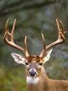 Whitetail Buck Portrait Royalty Free Stock Photo