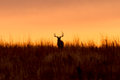 Whitetail buck silhouette at sunrise a white tailed silhouetted against a Stock Photo
