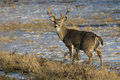 Whitetail Buck in Snow Royalty Free Stock Photo