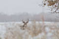Whitetail buck in snow a nice barely visible a covered weed field Royalty Free Stock Photo