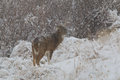 Whitetail buck in snow a nice standing a covered scene Stock Photography