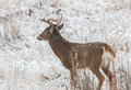 Whitetail Buck in Snowy Field Royalty Free Stock Photography