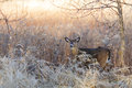 Whitetail buck in sunshine light Royalty Free Stock Photos