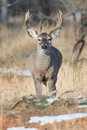 Whitetail buck with swollen neck during the rut big Royalty Free Stock Photography