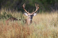 Whitetail buck in tall prairie grass Royalty Free Stock Photo