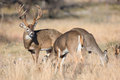 Whitetail buck tending to herd of does with torn ear during the rut Royalty Free Stock Image