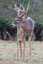 Whitetail buck vertical portrait Royalty Free Stock Photo