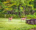 Whitetail bucks a seven and eight point buck graze in cades cove great smoky mountains national park gatlinburg tennessee Stock Image
