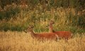 Whitetail bucks two smaller on a montana country road Stock Image