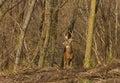 Whitetail Deer Royalty Free Stock Photo