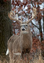Whitetail Deer Stock Images