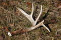 Whitetail Deer Antler Shed on Ground Royalty Free Stock Photo