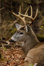 Whitetail Deer Buck Bedded During Rut Royalty Free Stock Photo