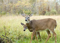 Whitetail Deer Buck And Doe Royalty Free Stock Photo