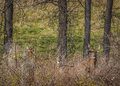 Whitetail deer buck and doe dor hidden standing in a field Stock Photos