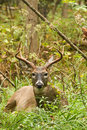 Whitetail Deer Buck Fall Rut Bedded Royalty Free Stock Photo