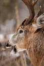 Whitetail deer buck fall rut close up a poses during the in ottawa ontario canada Royalty Free Stock Photo