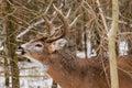 Whitetail Deer Buck Fall Rut Lip Curl Royalty Free Stock Photo