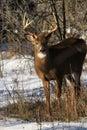 Whitetail Deer Buck Fall Rut Royalty Free Stock Photo