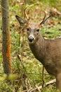 Whitetail Deer Buck Fall Rut Rub