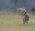Whitetail deer buck in a foggy field Stock Photos