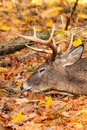 Whitetail Deer Buck Resting Head Royalty Free Stock Photo