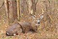 Whitetail deer buck rut bedded a beds down during the fall Royalty Free Stock Photography