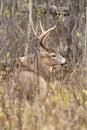 Whitetail Deer Buck Rut Royalty Free Stock Photo