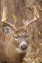 Whitetail deer buck rut a beds down during the fall Royalty Free Stock Photography