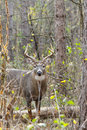 Whitetail deer buck rut a stands during the fall Royalty Free Stock Photos