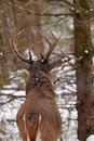 Whitetail deer buck a shows off his impressive antlers during the fall rut in ontario canada Stock Image