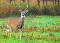 Whitetail deer buck standing in a field Royalty Free Stock Image