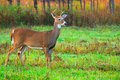 Whitetail deer buck standing in a field Royalty Free Stock Photo